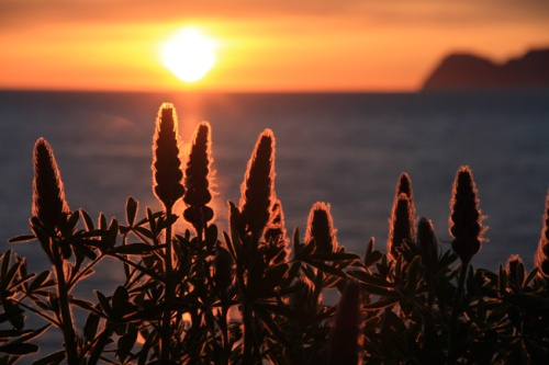 Solstice lupine