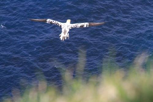 b&W gannet