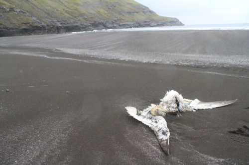 dead gannet on beach