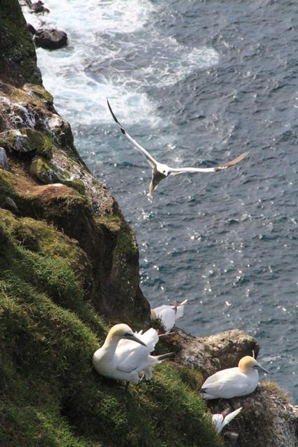 gannet ghost