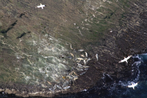 seals and gannets