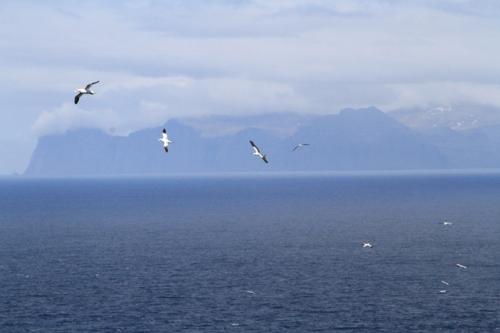 wheeling gannets